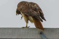 MG_7475-Red-Tailed-Hawk