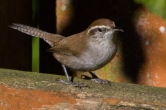 MG_7502-Bewicks-Wren