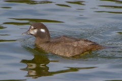 MG_7567-Harlequin-Duck-female