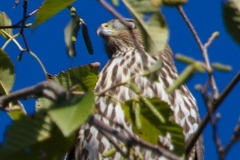 MG_7568-Coopers-Hawk-juvenile