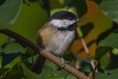 MG_7654-Black-Capped-Chickadee