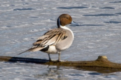 MG_7743-Northern-Pintail-male