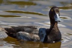 MG_7763-Greater-Scaup