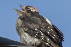 MG_8063-Downy-Woodpecker-juvenile