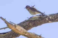 MG_8135-Swainsons-Thrush