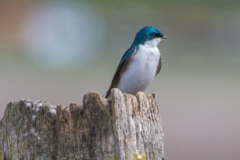 MG_8176-Tree-Swallow