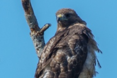 MG_8323-Red-Tailed-Hawk