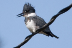 MG_8359-Belted-Kingfisher-male