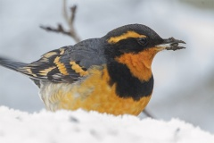 MG_8364-Varied-Thrush
