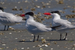 MG_8888-Caspian-Terns