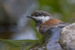 MG_8920-Chestnut-Backed-Chickadee