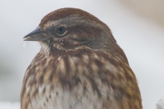 MG_9099-Song-Sparrow