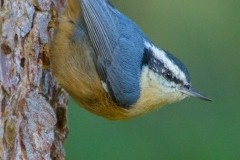 MG_9224-Red-Breasted-Nuthatch