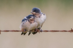 MG_9248-Barn-Swallows-fledglings
