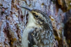 MG_9307-Brown-Creeper