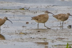 MG_9398-Whimbrels