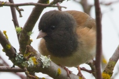 MG_9422-Dark-Eyed-Junco