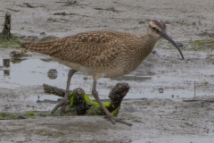 MG_9455-Whimbrel