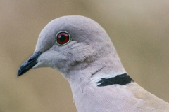 MG_9478-Eurasian-Collered-Dove