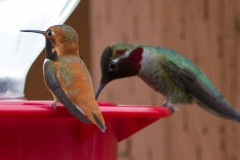 MG_9528-Rufous-and-Annas-Hummingbirds