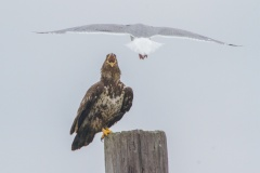 MG_9653-Bald-Eagle-juvenile