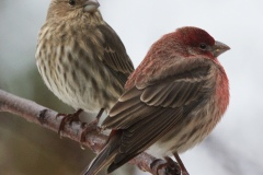 MG_9819-Purple-Finch-pair