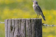 1_MG_0280-Mountain-Bluebird-female