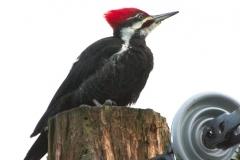 1_MG_8425-Pileated-Woodpecker-male