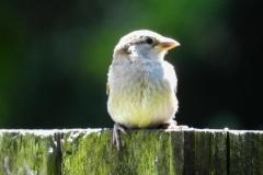 DSCN1763-female-house-sparrow