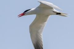 MG_0008-Caspian-Tern