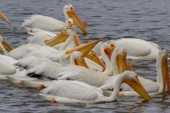 MG_0042-American-White-Pelicans