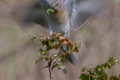 MG_0058-Mountain-Bluebird-female