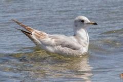 MG_0072-Mew-Gull-first-year