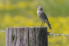 MG_0280-Mountain-Bluebird-female