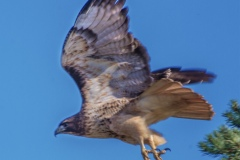 MG_0281-Red-Tailed-Hawk