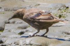 MG_0305-2-Juvenile-Starling-in-molt