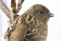 MG_0473-Gold-Crowned-Sparrow