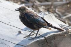 MG_0480-Blackbird