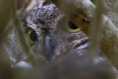 MG_0497-Great-Horned-Owl