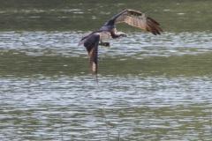 MG_0497-Osprey-fishing
