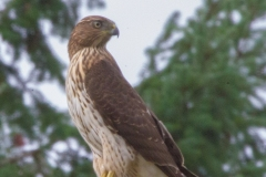 MG_0517-Coopers-Hawk