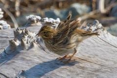 MG_0609-Savannah-Sparrow