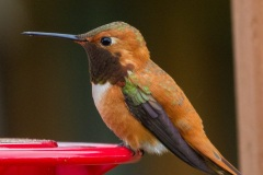 MG_0709-Rufous-Hummingbird