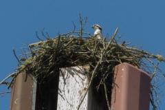 MG_0808-osprey-in-nest