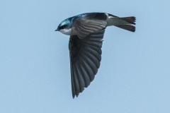 MG_1393-Tree-Swallow