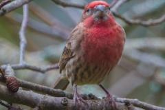 MG_1395-House-Finch-male