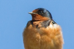 MG_1422-Barn-Swallow