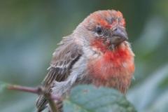 MG_1430-male-House-Finch
