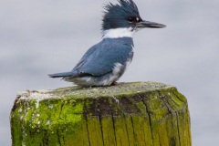 MG_1468-Belted-Kingfisher