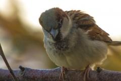 MG_1585-House-Sparrow-male